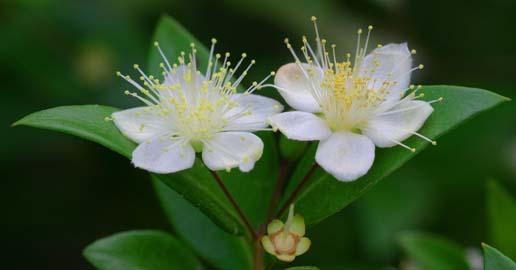 Fleur de Myrte vert