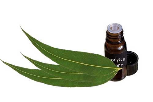 L'huile essentielle Eucalyptus citronné