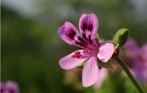 Huile essentielle sphère cutanée : Géranium rosat