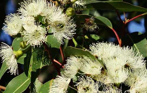 Huile essentielle système ostéo-articulaire : Eucalyptus citronné